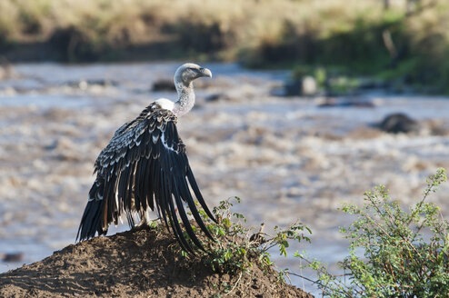 Africa, Kenya, Maasai Mara National Reserve, Rueppell's Vulture (Gyps rueppellii) with spread wings - CB000304