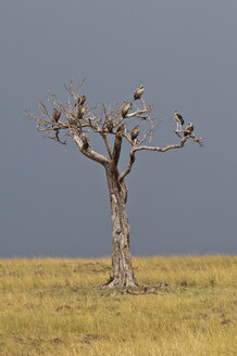 Africa, Kenya, Maasai Mara National Reserve, bare tree with various species of vultures - CB000298