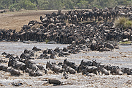 Africa, Kenya, Maasai Mara National Reserve, A herd of Blue Wildebeest (Connochaetes taurinus) crossing the Mara River during the Great Migration - CB000288