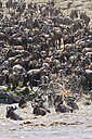 Africa, Kenya, Maasai Mara National Reserve, A large heard of Blue Wildebeest (Connochaetes taurinus), gnus crossing the Mara River - CB000287