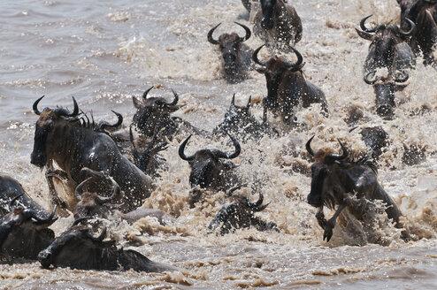 Africa, Kenya, Maasai Mara National Reserve, Blue Wildebeest (Connochaetes taurinus) crossing the Mara River - CB000283
