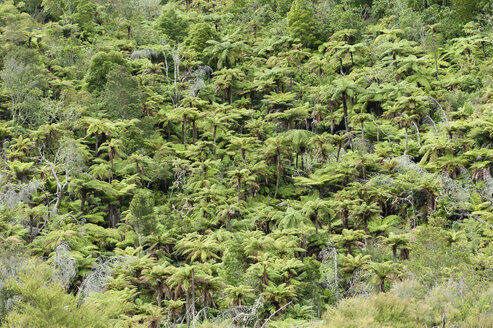 New Zealand, North Island, Bay of Plenty, Orakei Korako, Rainforest - JB000037