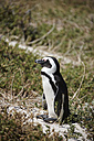 South Africa, Simonstown, Black-footed penguin - AKF000293