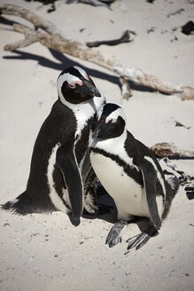 South Africa, Simonstown, Black-footed penguins - AKF000295