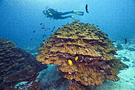 Oman, Fahal Island, Gulf of Oman, diver with goniopora coral in front - ZCF000003