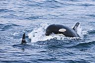 USA, Alaska, Seward, Resurrection Bay,  two killer whales (Orcinus orca) - FOF006048