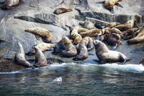USA, Alaska, Seward, Resurrection Bay, group of Steller sea lions (Eumetopias jubatus) lying on a rock - FOF006054