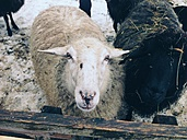 Sheep looking at camera in Unterwoessen, Bavaria, Germany - MEAF000175