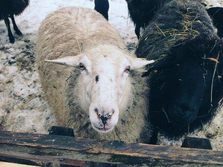 Sheep looking at camera in Unterwoessen, Bavaria, Germany - MEAF000175