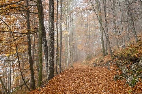 Germany, Bavaria, Upper Bavaria, Berchtesgadener Land, Berchtesgaden National Park, Schoenau at Koenigssee, fog at autumnal wood - WIF000386