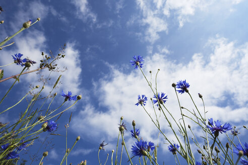 Germany, Cologne, Cornflowers agains cloudy sky - GWF002591