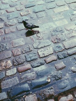 Pidgeon in cobblestone puddle in London, UK - MEAF000117