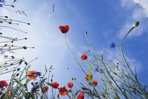 Blossoms of red poppies (Papaver rhoeas) and cornflowers (Centaurea cyanus), view from below - GWF002595