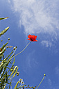 Spikes and single blossom of red poppy (Papaver rhoeas) in front of sky, view from below - GWF002598