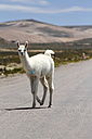Peru, Andes, free-ranging llama (Lama glama) walking on country road - KRP000326