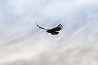 South America, Peru, Colca Canyon, Andean Condor (Vultur Gryphus) flying - KRP000311