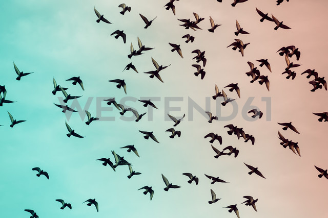 Flock of doves (Columbidae) flying in front of sky, view from below - NGF000124
