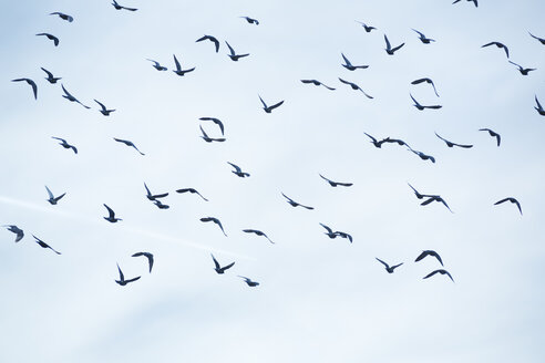 Flock of doves (Columbidae) flying in front of cloudy sky - NGF000116