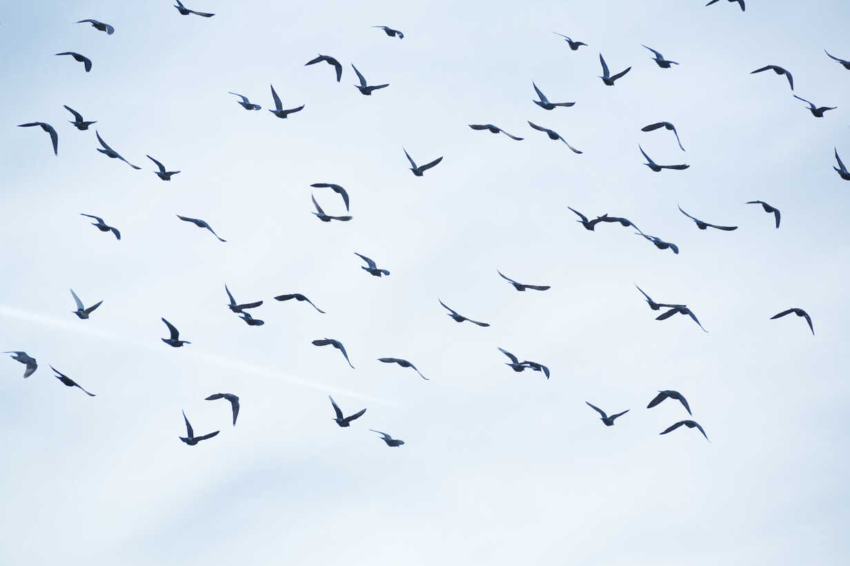 Flock of doves (Columbidae) flying in front of cloudy sky - NGF000116 - Nadine Ginzel/Westend61