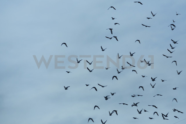 Flock of doves (Columbidae) flying in front of cloudy sky - NGF000113 - Nadine Ginzel/Westend61
