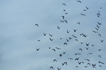 Flock of doves (Columbidae) flying in front of cloudy sky - NGF000113