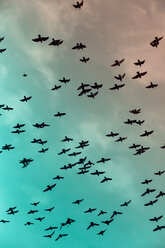 Flock of doves (Columbidae) flying in front of cloudy sky, view from below - NGF000110