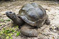 Seychelles, Praslin, Seychelles giant tortoise (Dipsochelys hololissa) - WEF000015