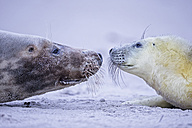 Germany, Helgoland, Duene Island, Grey seal (Halichoerus grypus) and grey seal pup at beach - FO006279