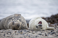 Germany, Helgoland, Duene Island, Grey seal (Halichoerus grypus) and grey seal pup lying at beach - FOF006282