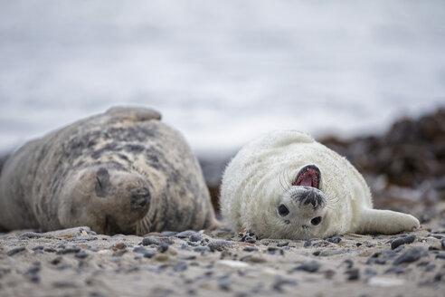 Germany, Helgoland, Duene Island, Grey seal (Halichoerus grypus) and grey seal pup lying at beach - FOF006282