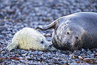 Germany, Helgoland, Duene Island, Grey seal (Halichoerus grypus) and grey seal pup at beach - FO006284