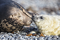 Germany, Helgoland, Duene Island, Grey seal (Halichoerus grypus) and grey seal pup at beach - FOF006285