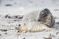 Germany, Helgoland, Duene Island, Grey seal (Halichoerus grypus) and grey seal pup at beach - FOF006291