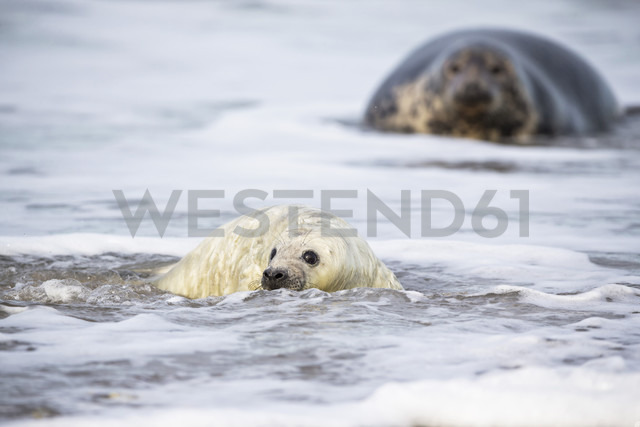 Germany, Helgoland, Duene Island, Grey seal (Halichoerus grypus) and grey seal pup at beach - FOF006294 - Fotofeeling/Westend61