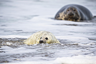 Germany, Helgoland, Duene Island, Grey seal (Halichoerus grypus) and grey seal pup at beach - FOF006294