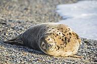 Germany, Helgoland, Duene Island, Grey seal (Halichoerus grypus) lying at beach - FO006165