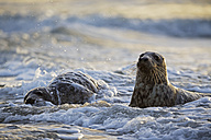 Germany, Helgoland, Grey Seals (Halichoerus grypus) playing - FOF006101