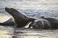 Germany, Helgoland, Grey Seals (Halichoerus grypus) playing - FO006096