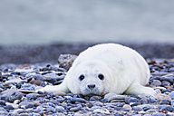 Germany, Helgoland, Duene Island, Grey seal pup (Halichoerus grypus) lying at shingle beach - FO006131