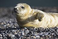 Germany, Helgoland, Duene Island, Grey seal pup (Halichoerus grypus) lying at shingle beach - FOF006127