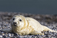 Germany, Helgoland, Duene Island, Grey seal pup (Halichoerus grypus) lying at shingle beach - FOF006125