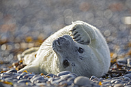 Germany, Helgoland, Duene Island, Grey seal pup (Halichoerus grypus) lying at shingle beach - FOF006119