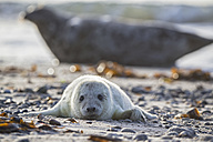 Germany, Helgoland, Duene Island, Grey seal pup (Halichoerus grypus) lying at shingle beach - FOF006117