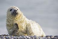 Germany, Helgoland, Duene Island, Grey seal pup (Halichoerus grypus) lying at shingle beach - FOF006110