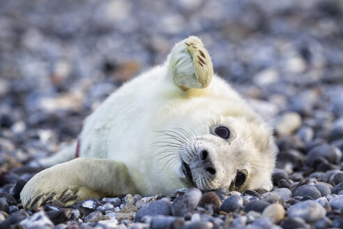 Germany, Helgoland, Duene Island, Grey seal pup (Halichoerus grypus) lying at shingle beach - FOF006114