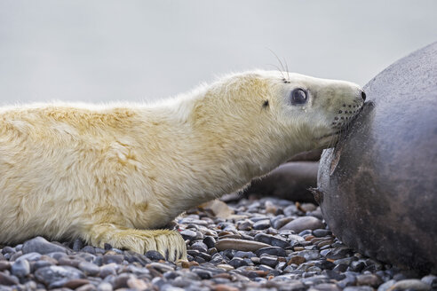 Germany, Helgoland, Duene Island, Grey seal (Halichoerus grypus) is suckling her pup at beach - FOF006172