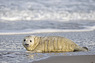 Germany, Helgoland, Duene Island, Grey seal pup (Halichoerus grypus) at beach - FOF006174