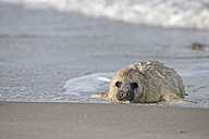 Germany, Helgoland, Duene Island, Grey seal pup (Halichoerus grypus) at beach - FO006176