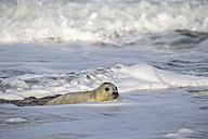 Germany, Helgoland, Duene Island, Grey seal pup (Halichoerus grypus) in water - FOF006177