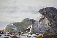 Germany, Helgoland, Duene Island, Grey seal (Halichoerus grypus) is suckling her pup at beach - FOF006179